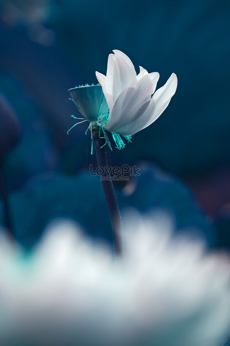 A different lotus flower photo imagepicture free download a different lotus flower mightylinksfo