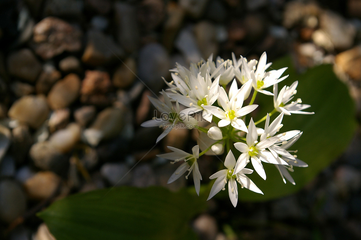 Small White Wildflower Photo Imagepicture Free Download