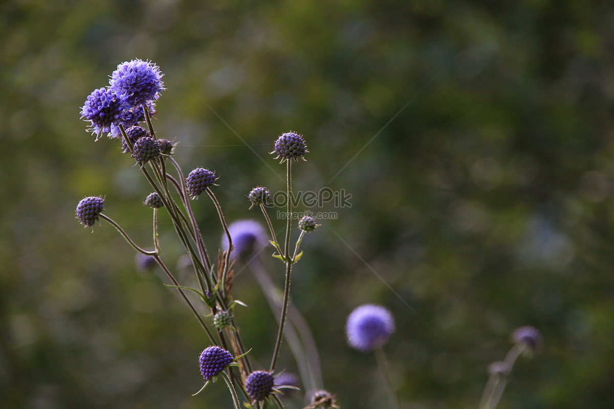Small Purple Flowers In The Field Photo Imagepicture Free Download