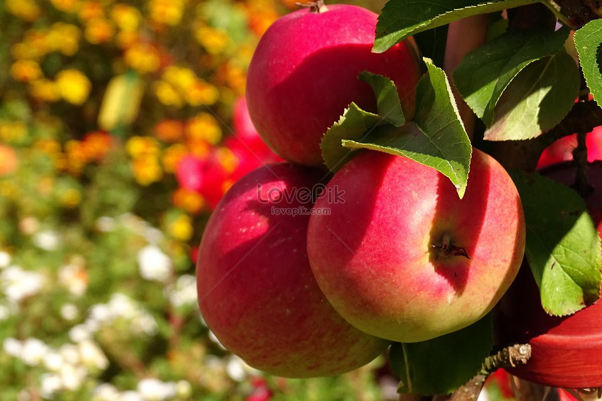 cây ăn quả táo đỏ trên