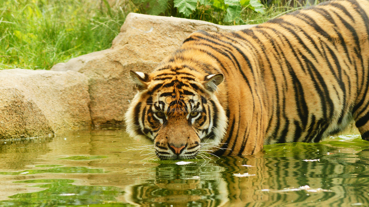 Prowler, bengal tiger wallpapers in jpg format for free download.