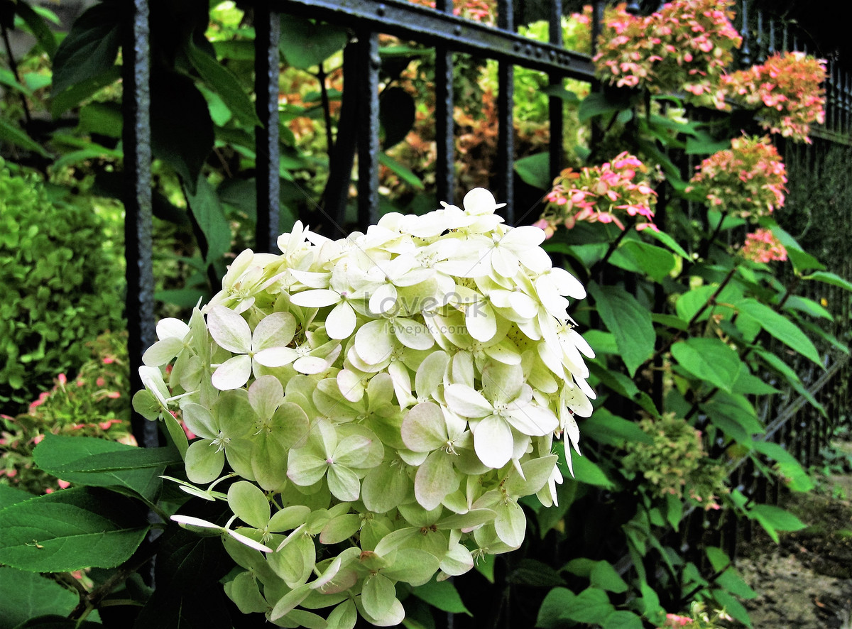 hoa 8 bông hoa bất tử