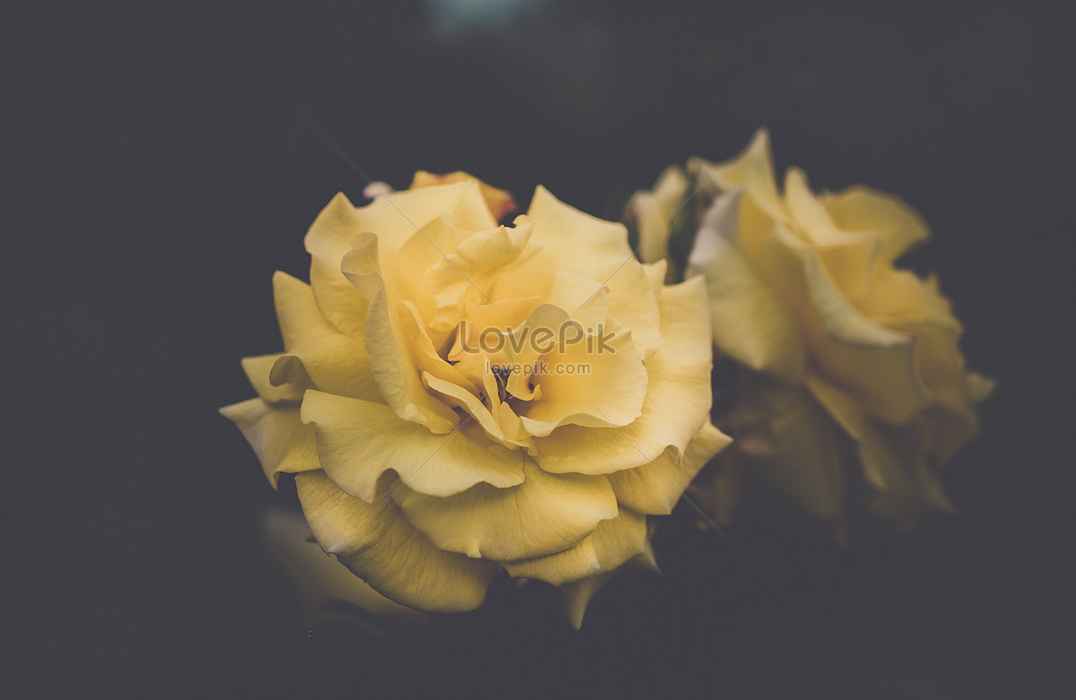 Yellow Carnation Photo Imagepicture Free Download 500190290lovepik