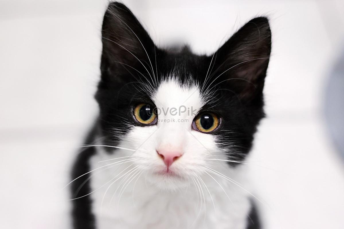 mèo đen và trắng