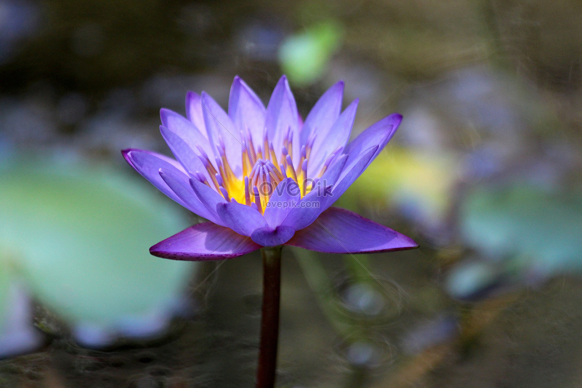 The Lotus Flower In The Pond Photo Imagepicture Free Download