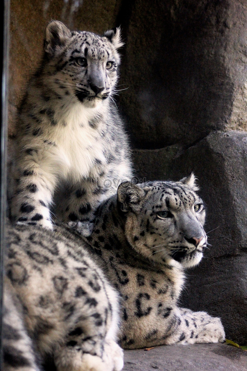 Snow leopard photo image_picture free download