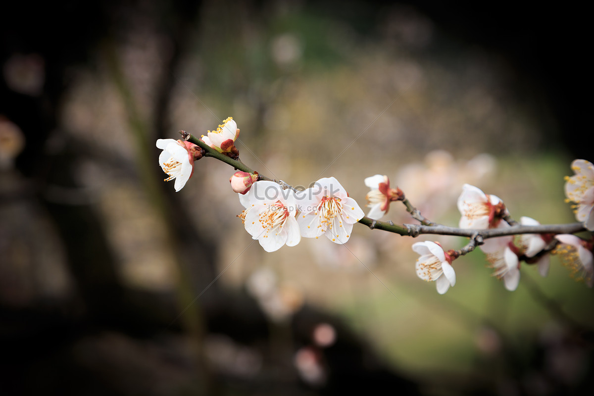 White Plum Blossoms In Spring Flowers And Trees Photo Imagepicture