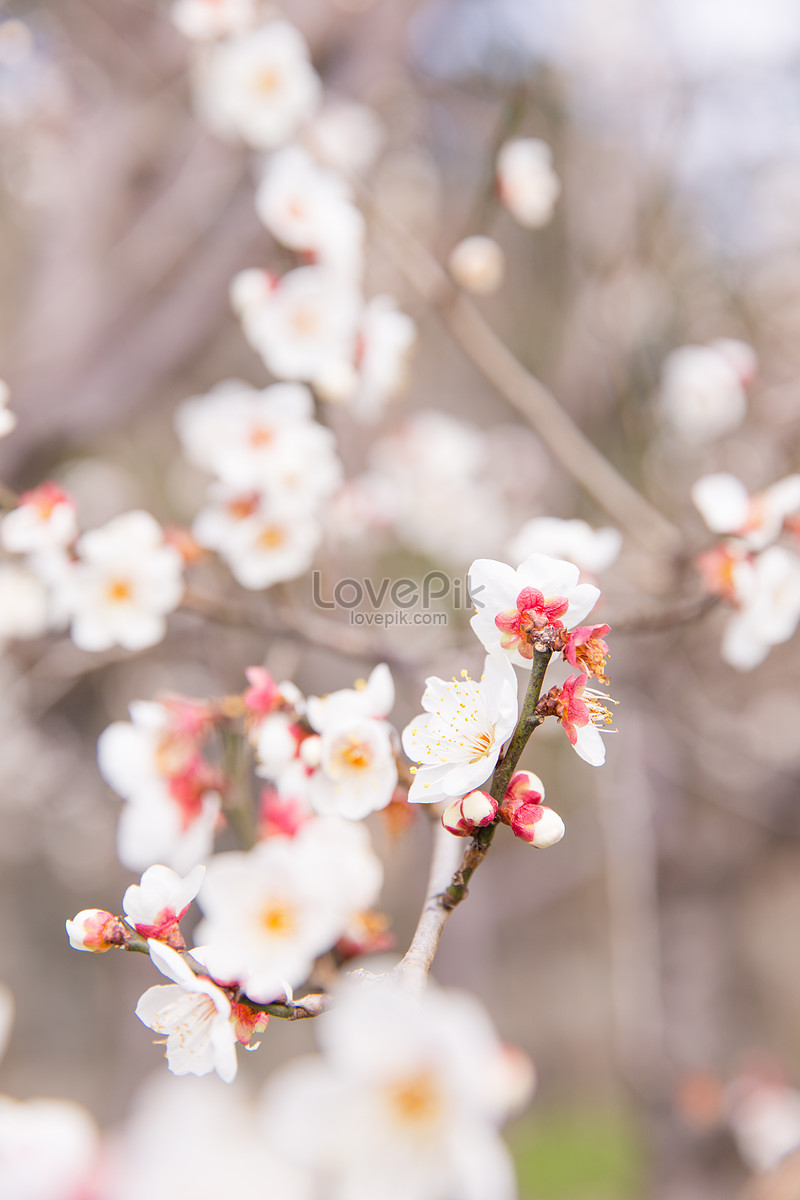 City Park White Plum Blossom Photo Imagesnature Pictures