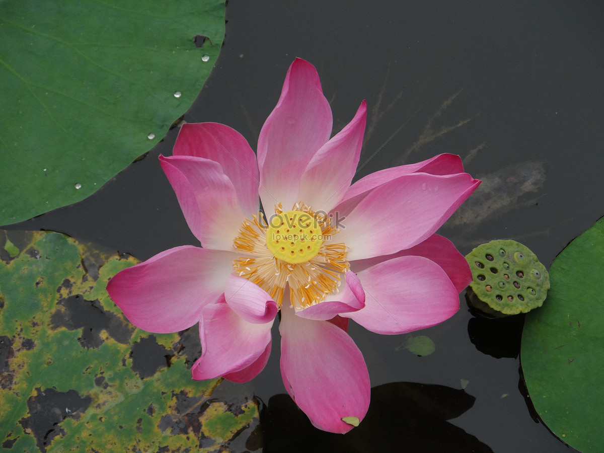 The lotus flower in the pond photo imagepicture free download the lotus flower in the pond izmirmasajfo