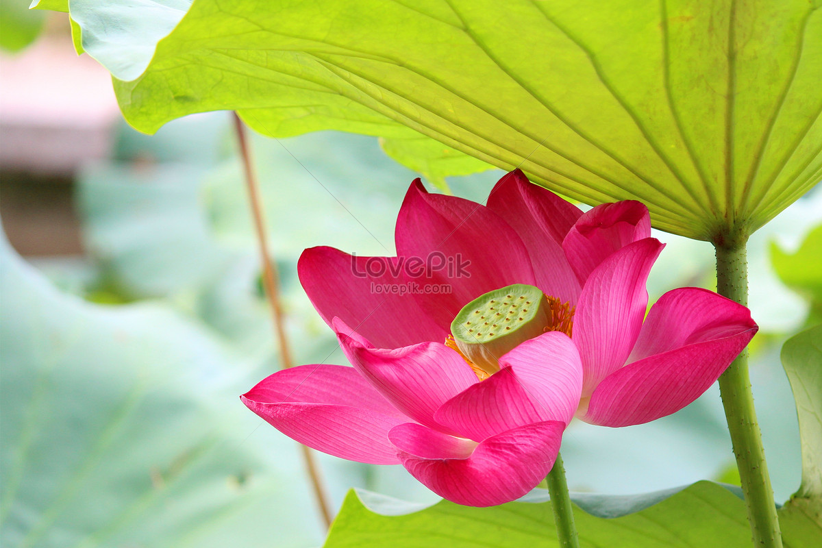Pink Lotus Flower Photo Imagepicture Free Download