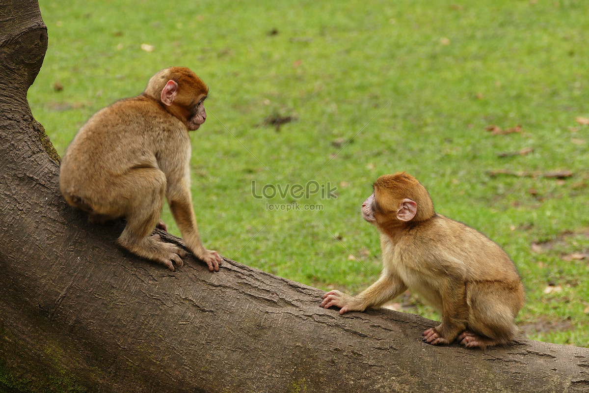 những con khỉ trong sở thú