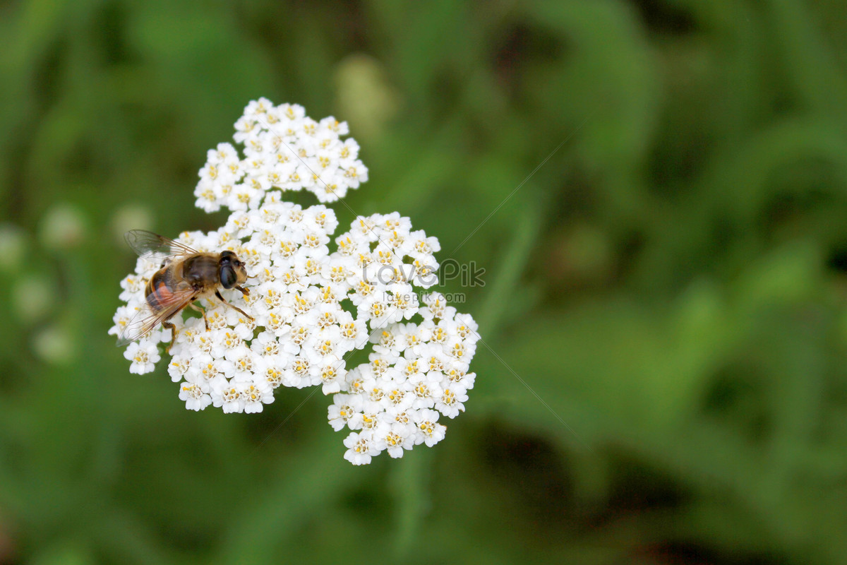 A Honeybee On A Small White Flower Photo Imagepicture Free Download