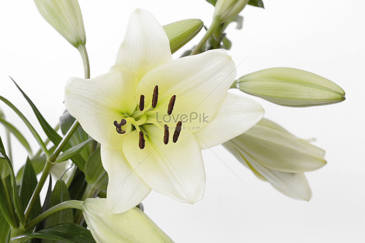 Lily Flower Bouquet Photo Imagepicture Free Download