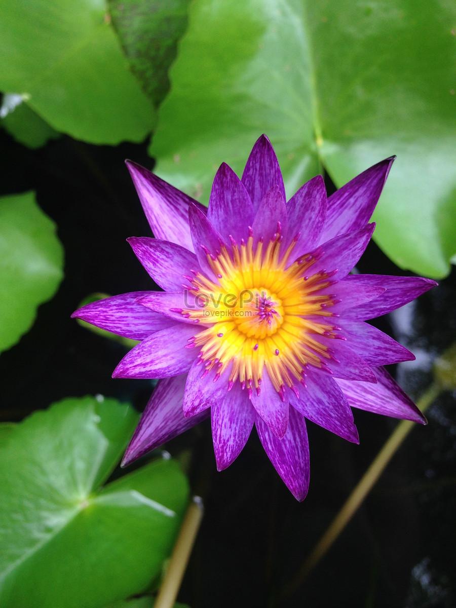 A lotus flower in full bloom photo imagepicture free download a lotus flower in full bloom mightylinksfo