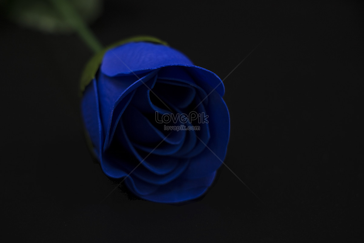 Romantic Blue Roses Photo Image Picture Free Download