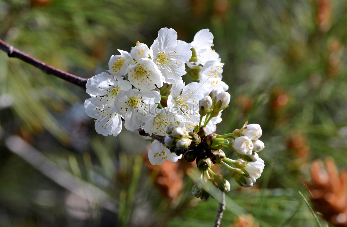 The Powdered White Flowers Blooming In Spring Photo Imagepicture