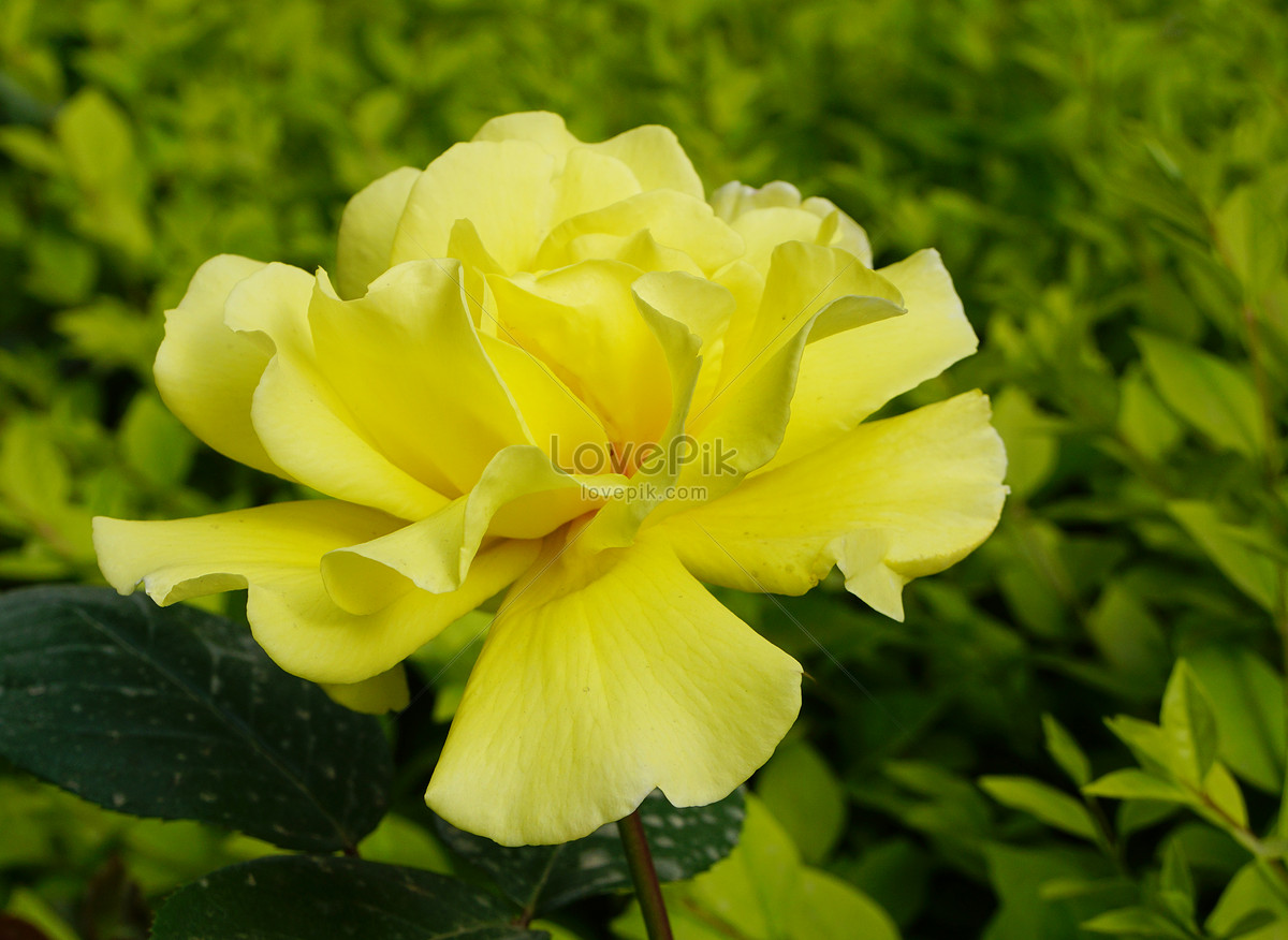 Beautiful Rose Flowers Photo Image Picture Free Download