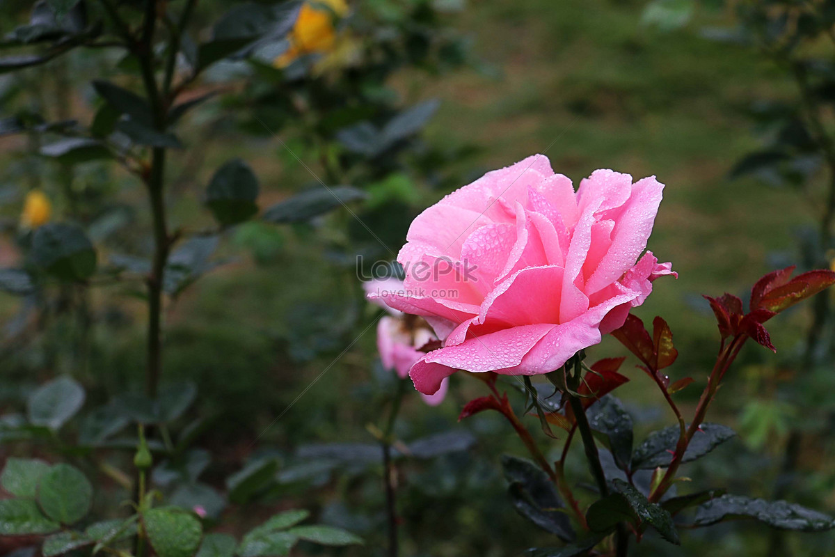 Flower Bud Of Chinese Rose Photo Imagepicture Free Download