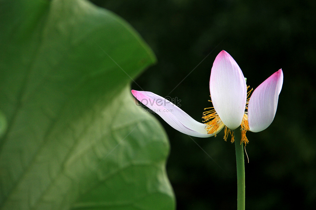 Scent Of Lotus Photo Imagepicture Free Download 500374737lovepik