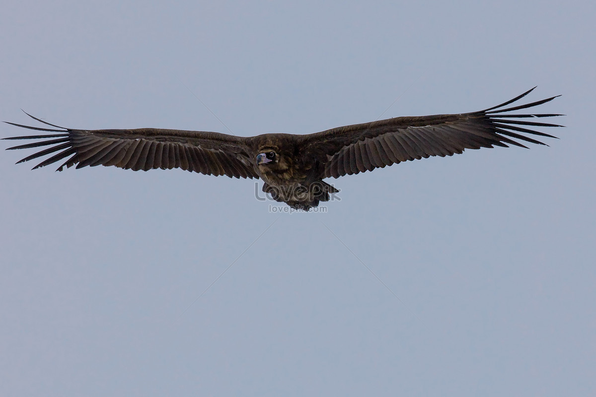 Eagles cleaved the sky photo image_picture free download ...