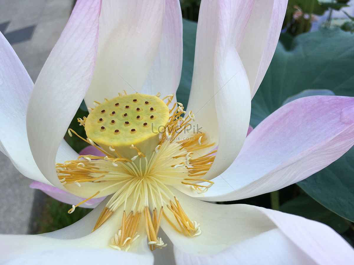 Lotus Fragrance Photo Imagepicture Free Download 500395120lovepik