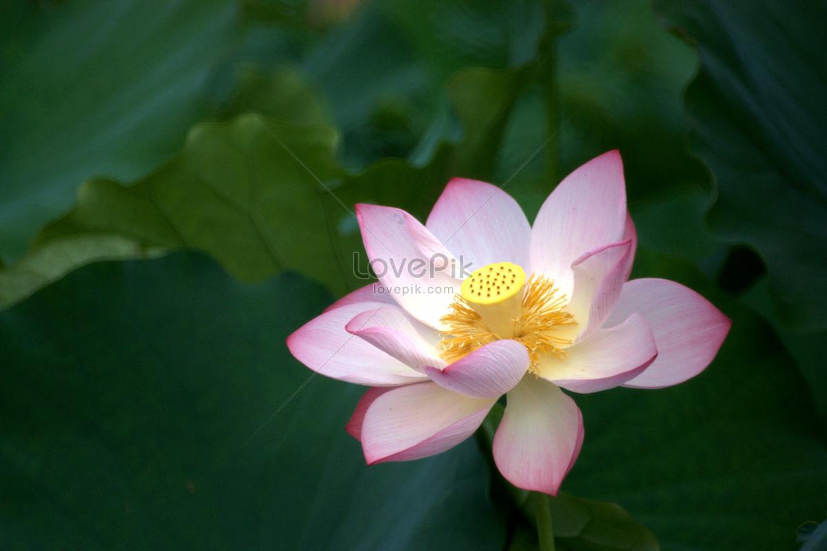 Pink lotus flower photo imagepicture free download pink lotus flower mightylinksfo