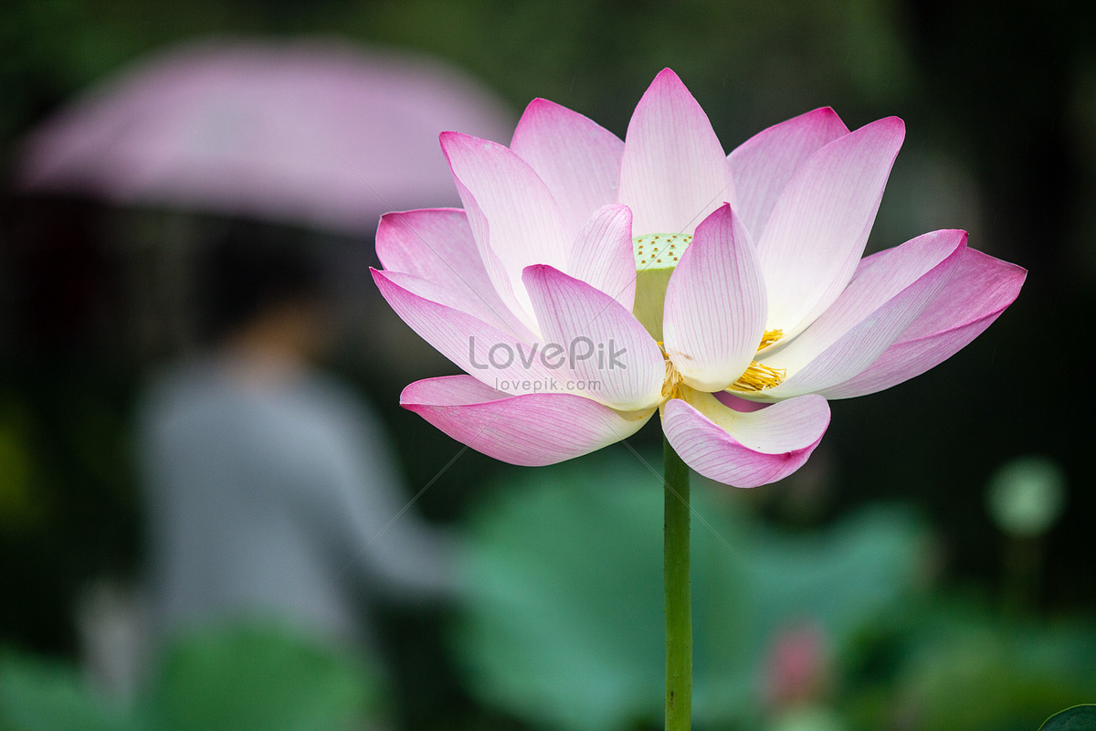 Lotus Flower Photo Imagepicture Free Download 500417039lovepik