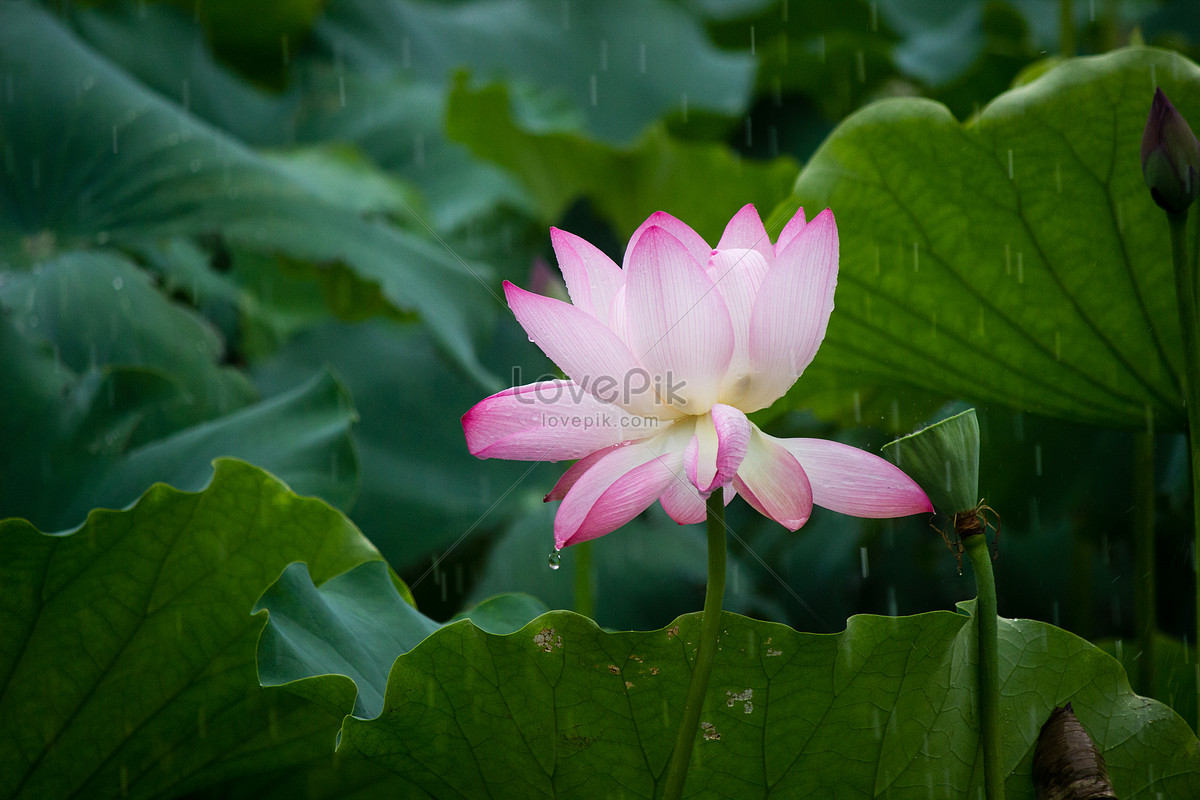 Lotus Flower Photo Imagepicture Free Download 500417062lovepik