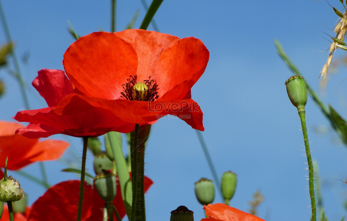 Poppy Flower Field Photo Imagepicture Free Download