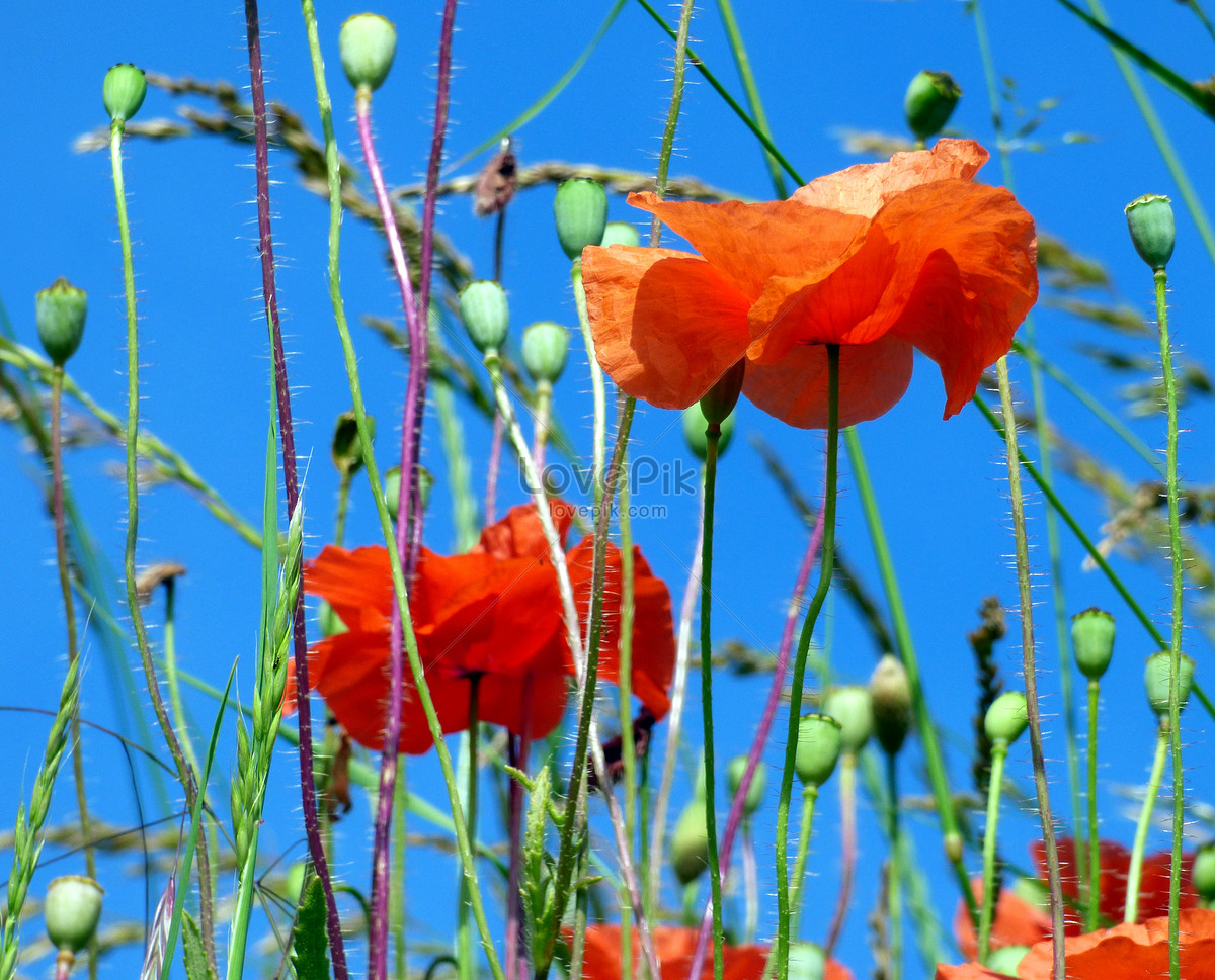 Poppy Flower Field Photo Imagesnature Pictures Id500423030lovepik