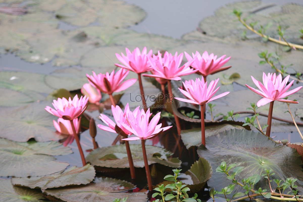 Lotus pond png image_picture free download 400596313_lovepik. Com.