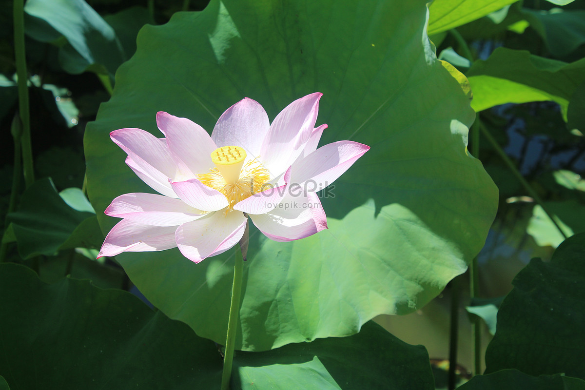 Ancient lotus flower topsimages lotus flower in ancient town of liantang photo images nature jpg 1200x800 ancient lotus flower izmirmasajfo