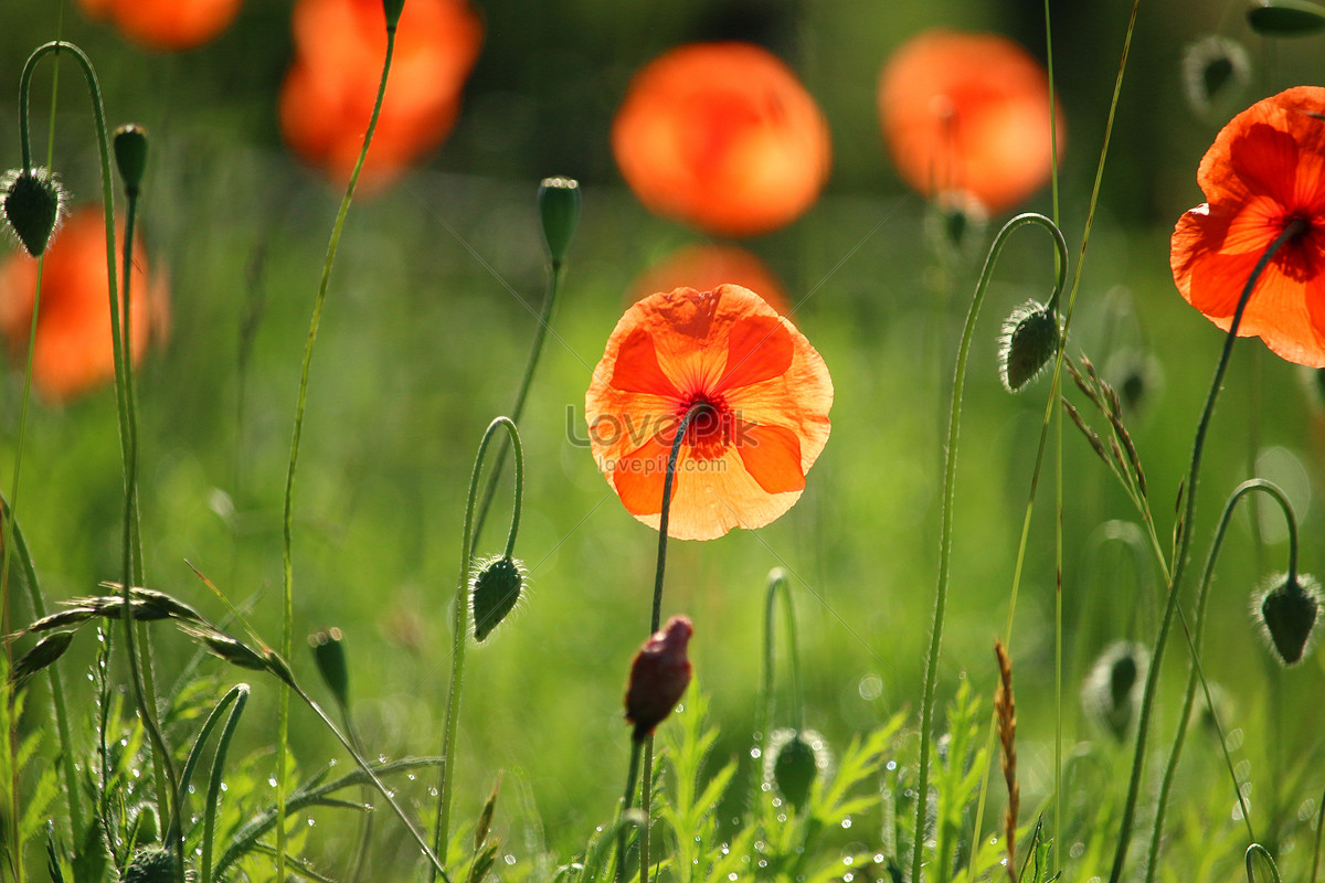 The red poppy flower sea photo imagepicture free download the red poppy flower sea mightylinksfo