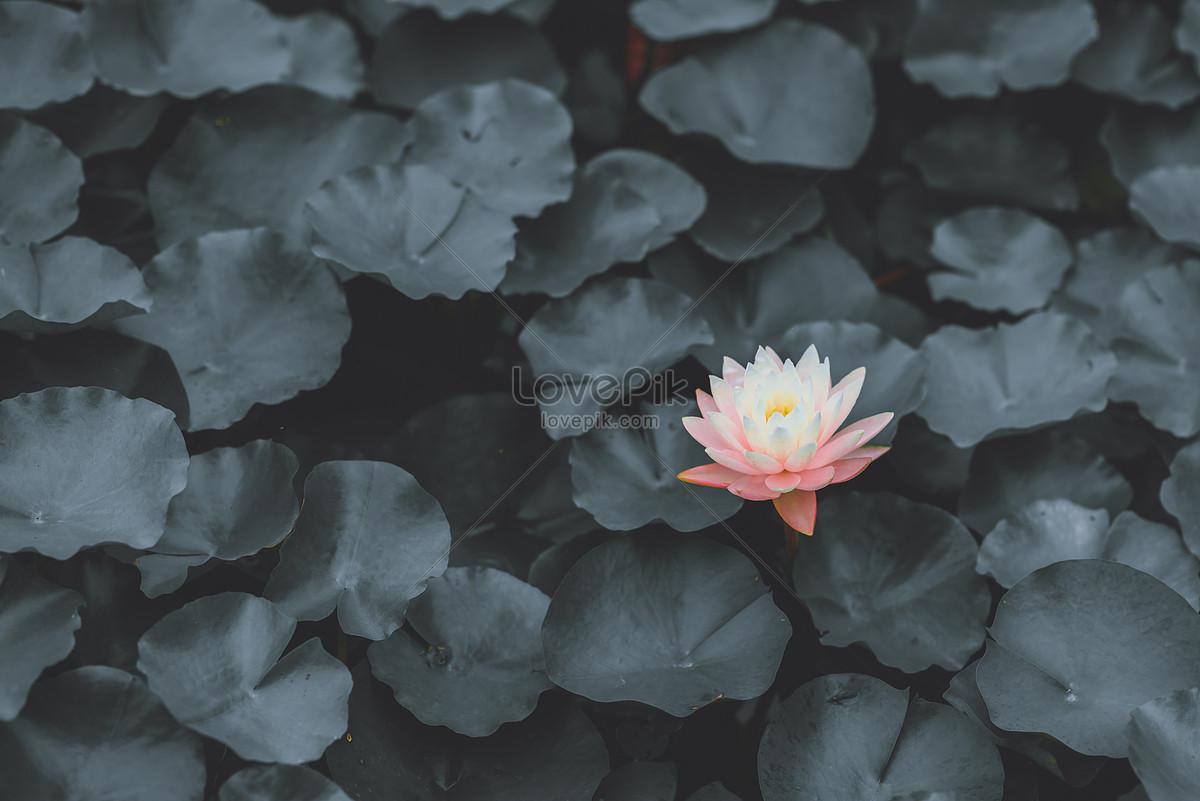 Dark Black Lotus Photo Imagepicture Free Download 500452984lovepik