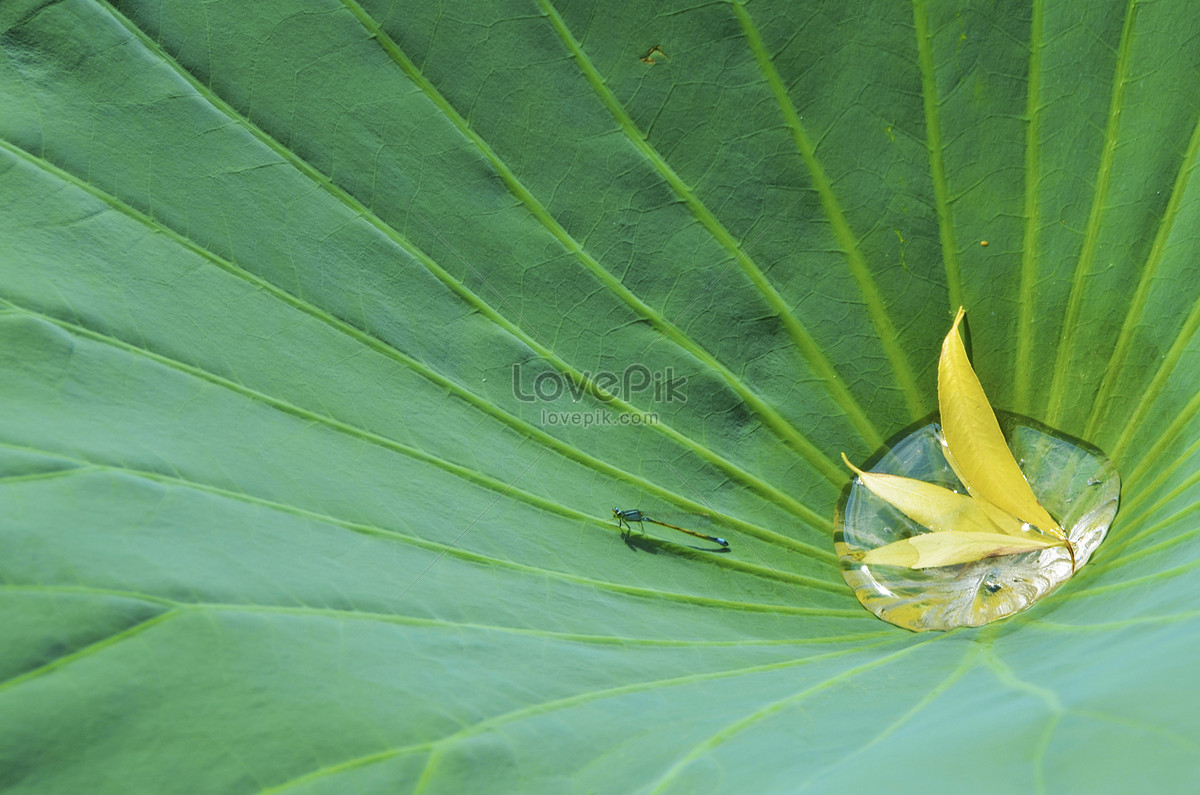 Hojas De Loto En La Flor De Loto Del Parque Beihai Imagen
