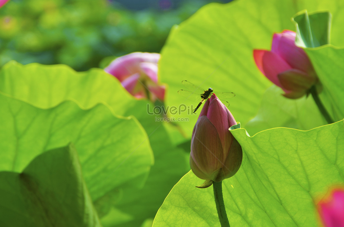 Lotus Flower And Dragonfly In Lotus Flower In Beihai Park Photo