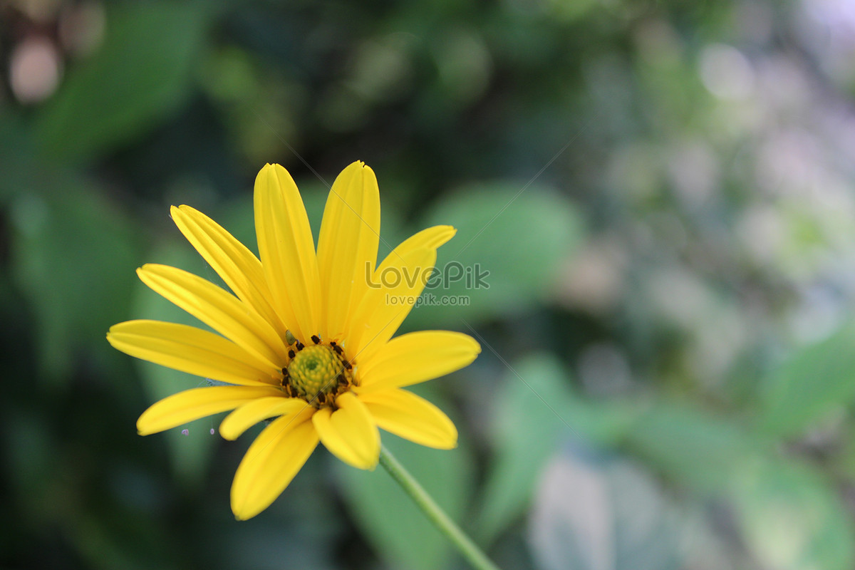 the yellow flowers blooming alone in the garden photo image picture
