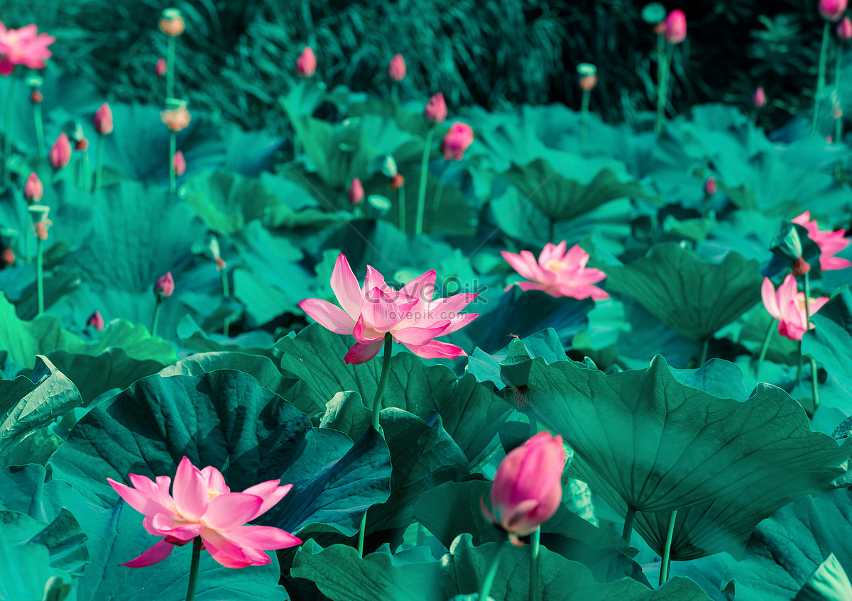 Beautiful Lotus Flower Photo Image Picture Free Download