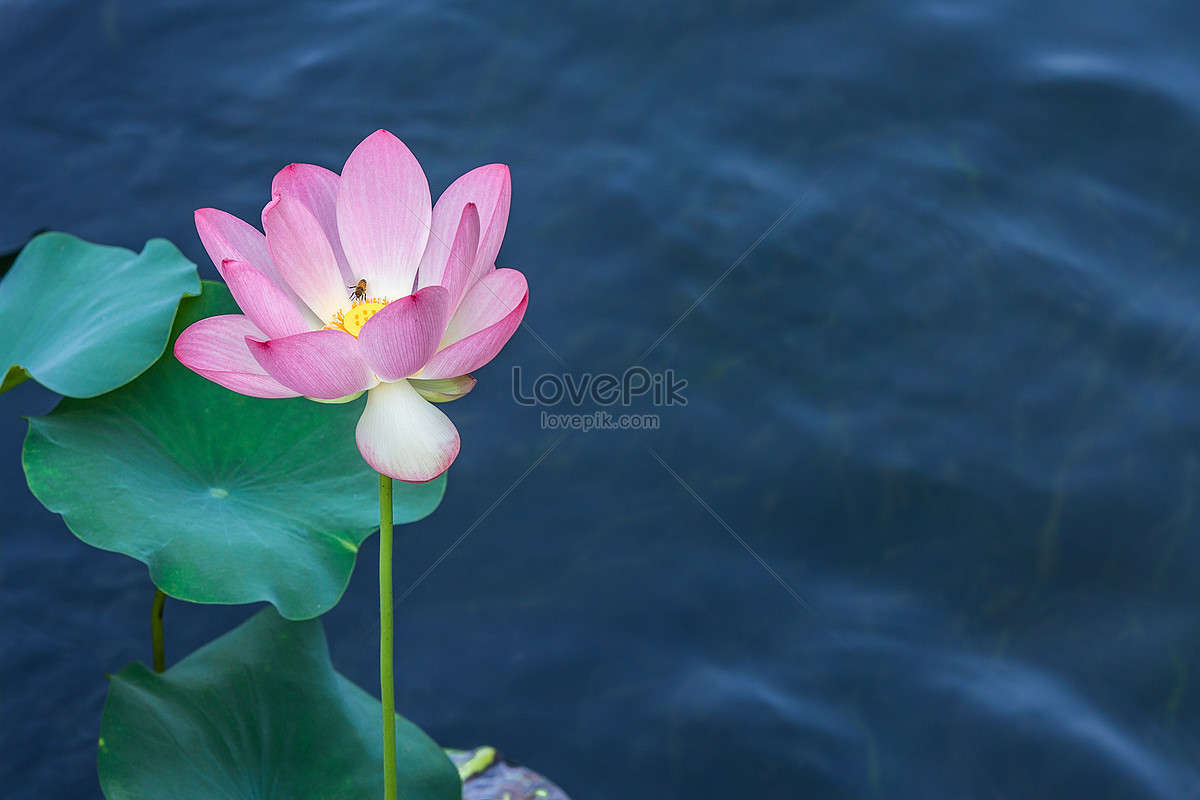 In Summer Even Bees Love Lotus Flowers Photo Imagepicture Free