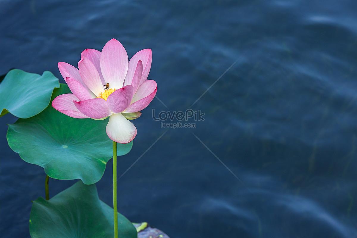 In summer even bees love lotus flowers photo imagepicture free in summer even bees love lotus flowers mightylinksfo