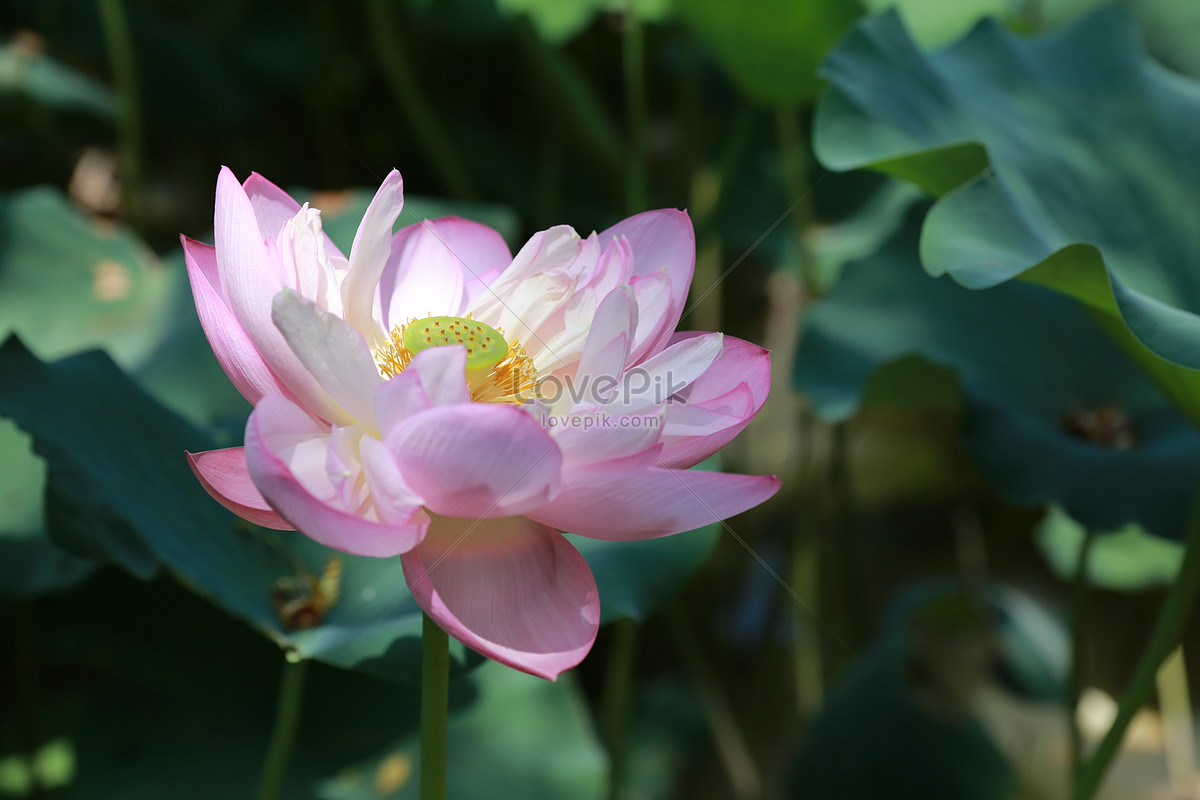 The lotus flower in summer photo imagepicture free download the lotus flower in summer izmirmasajfo
