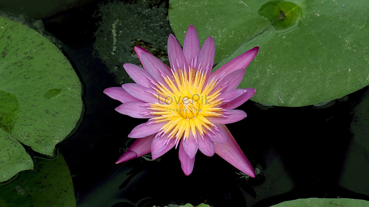 A blooming lotus flower photo imagepicture free download a blooming lotus flower izmirmasajfo