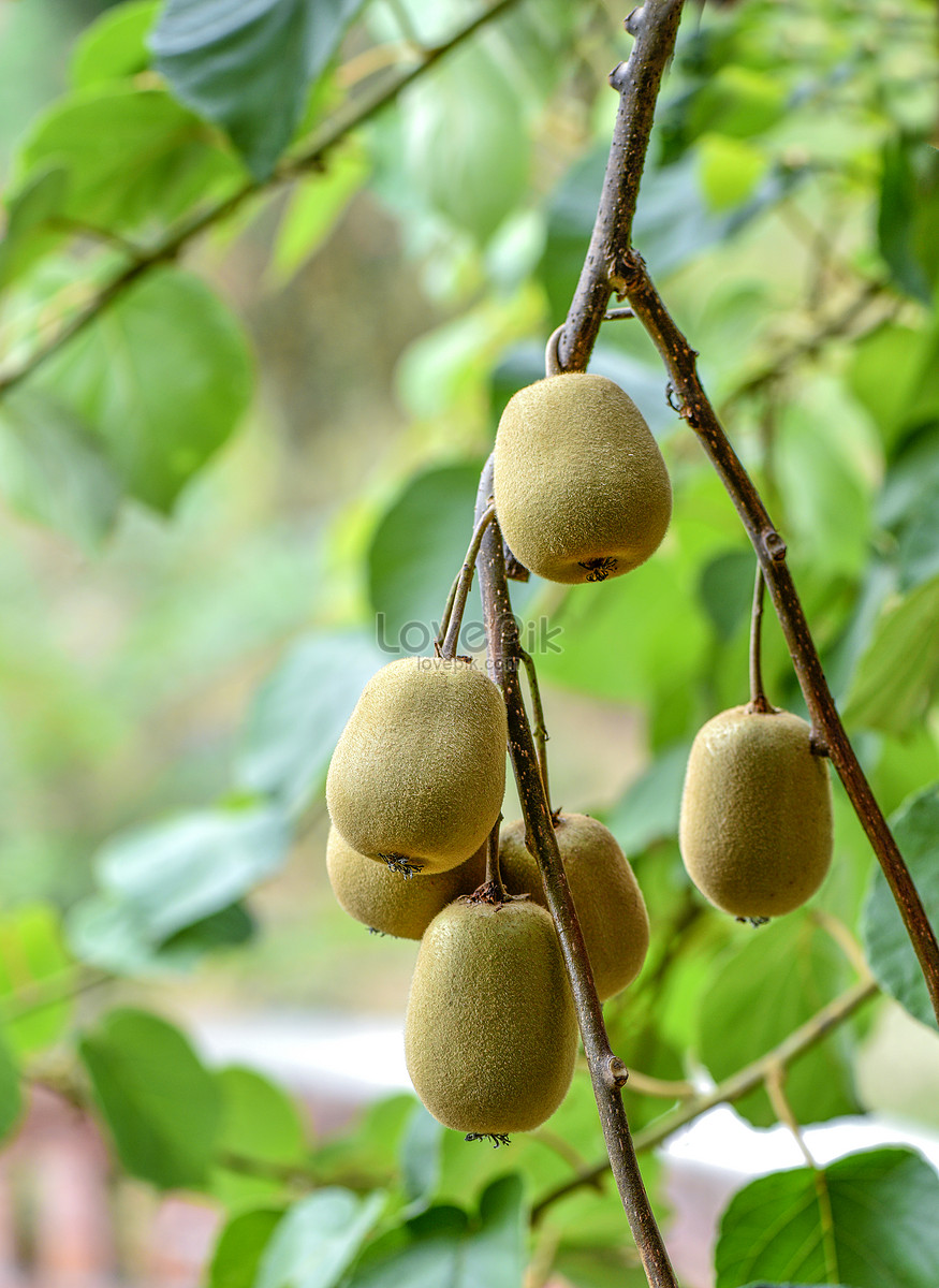 Kiwifruit Orchard Images