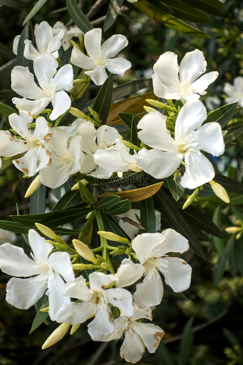 The Flowers Of Oleander Are In Full Bloom Photo Imagepicture Free