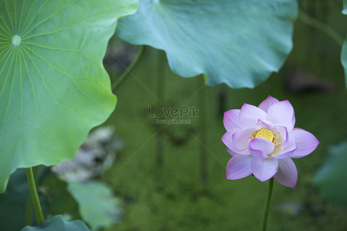 Chinese lotus flower photo imagepicture free download chinese lotus flower mightylinksfo