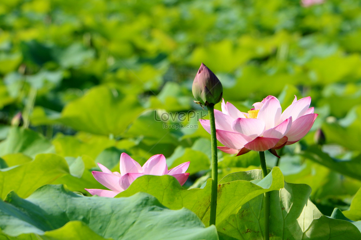 Lotus pond live wallpaper for android. Lotus pond free download.