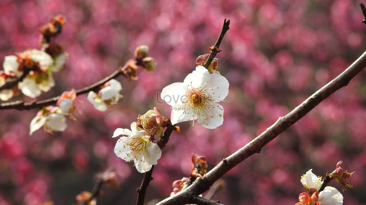 White Plum Blossom Feature Photo Imagepicture Free Download