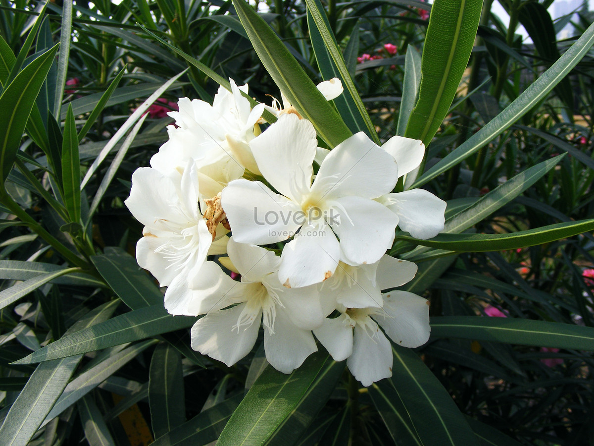 White Oleander Photo Imagepicture Free Download 500652745lovepik