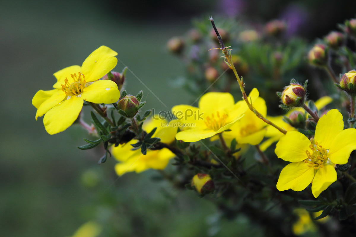 Qinghai menyuan small yellow flowers photo imagepicture free qinghai menyuan small yellow flowers mightylinksfo