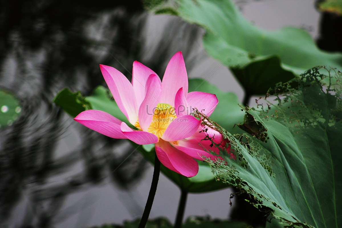 The pink lotus flower blooming in the pond photo imagepicture free the pink lotus flower blooming in the pond izmirmasajfo